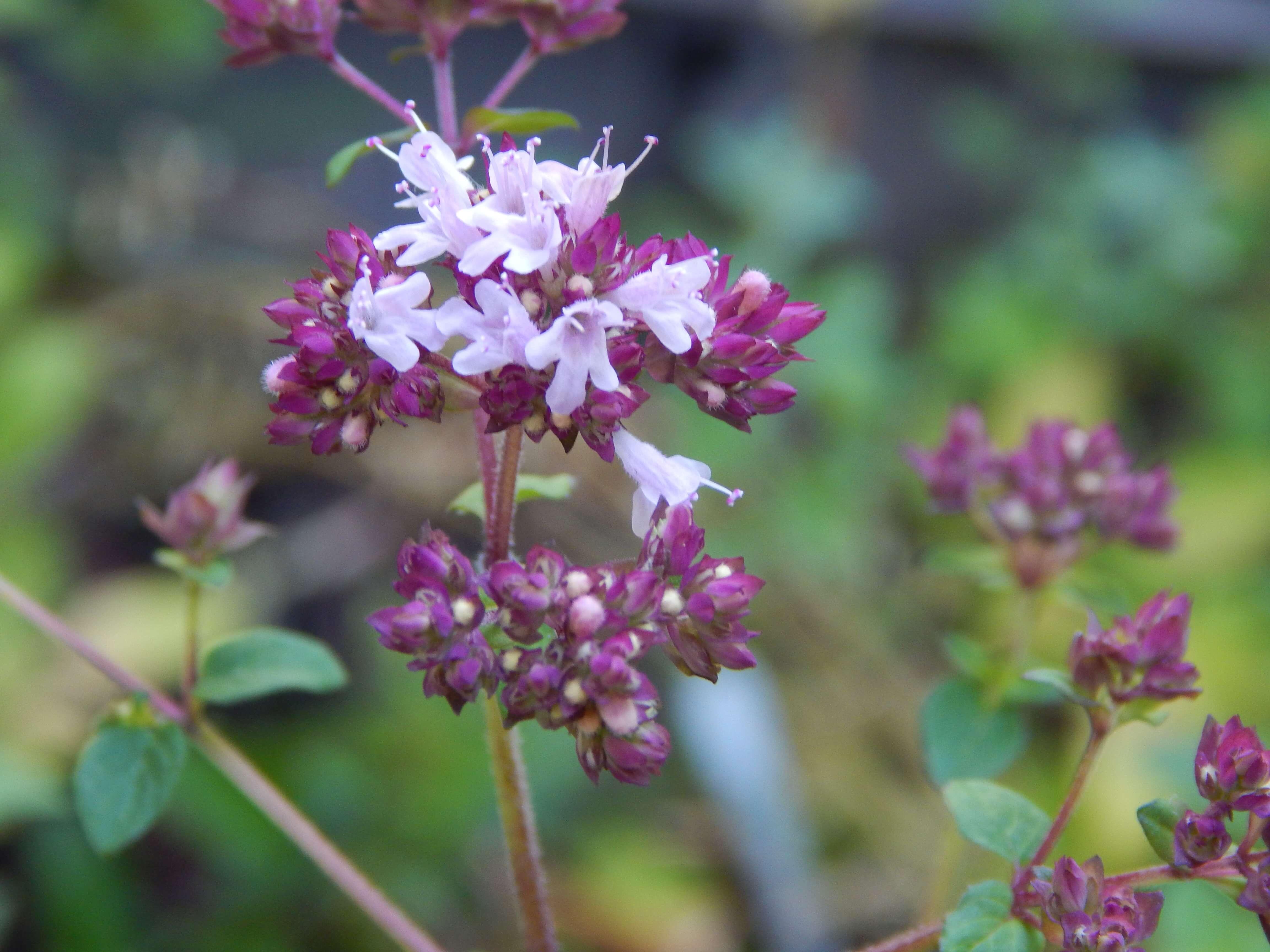 Oregano (many varieties) - Beesponsible
