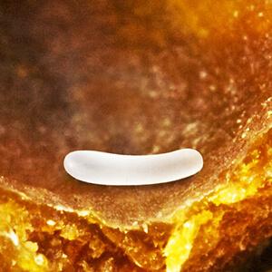 Bee Lifecycle Egg