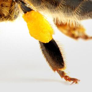 Pollen Basket