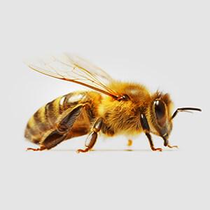 Bee Lifecycle Adult